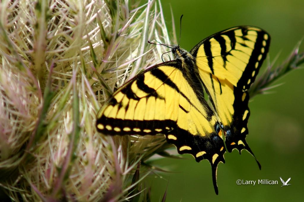 Eastern Tiger Swallowtail Papilio [Pterourus] glaucus