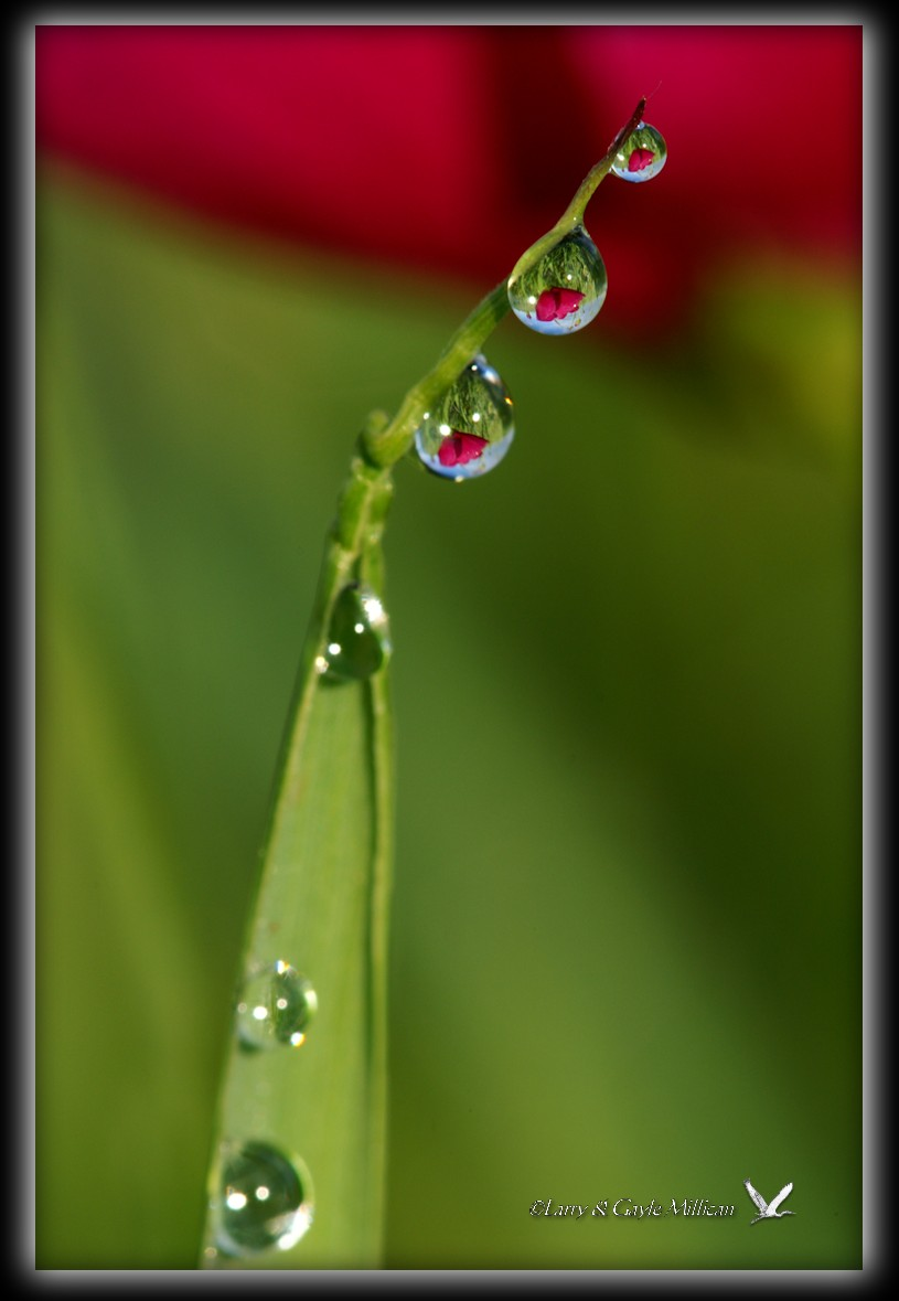Wild rose reflected in water drops on grass