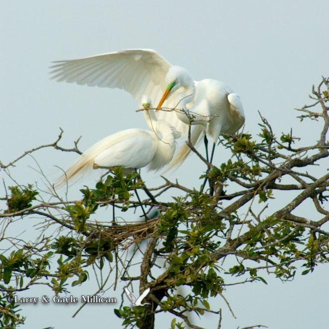 Great Egrets build their nest