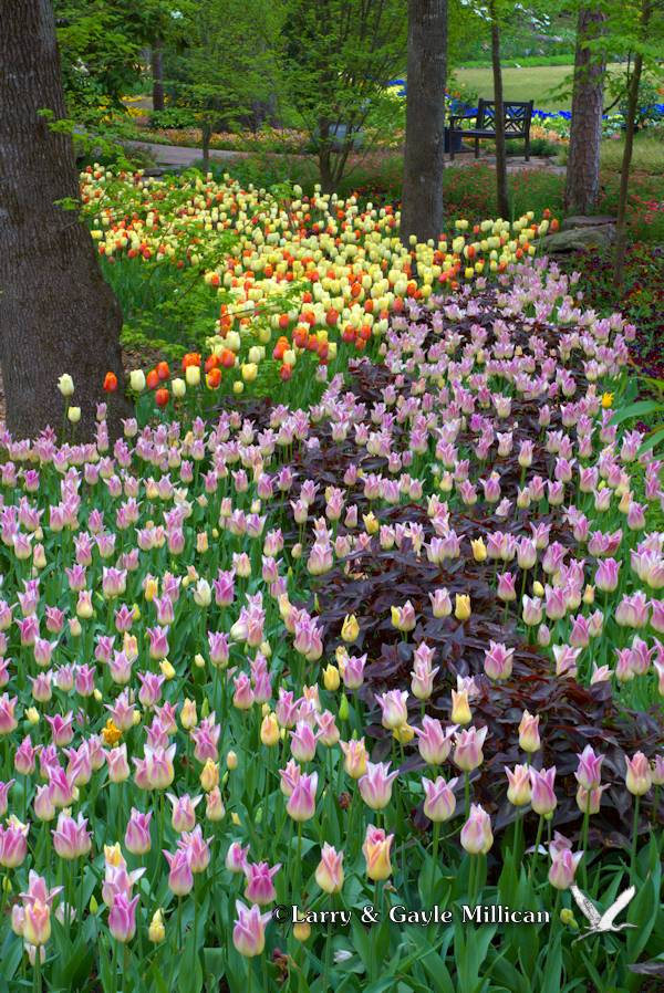 A River of Tulips
