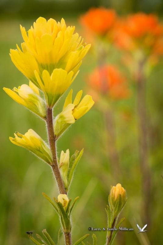 Yellow Indian Paintbrush, Cherokee Prairie near Charleston, AR