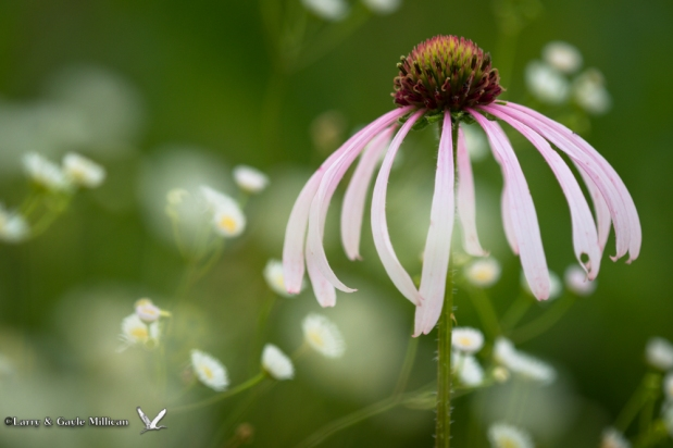 Purple Coneflower 03689