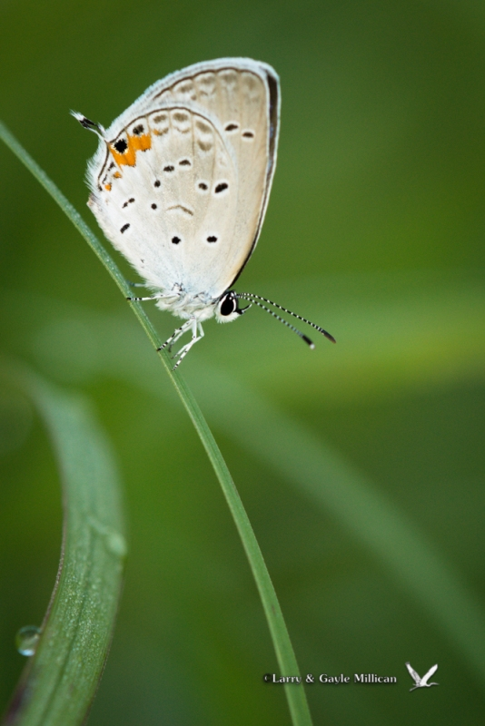 Eastern Tailed-Blue, Cherokee Prairie, Charleston, Arkansas