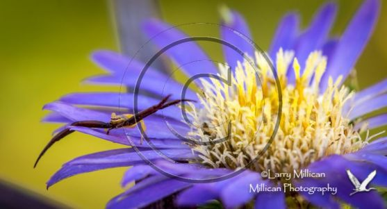 An aster with a Crab spider in residence