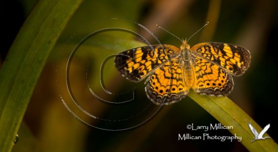 Pearl Crescent butterfly; late summer