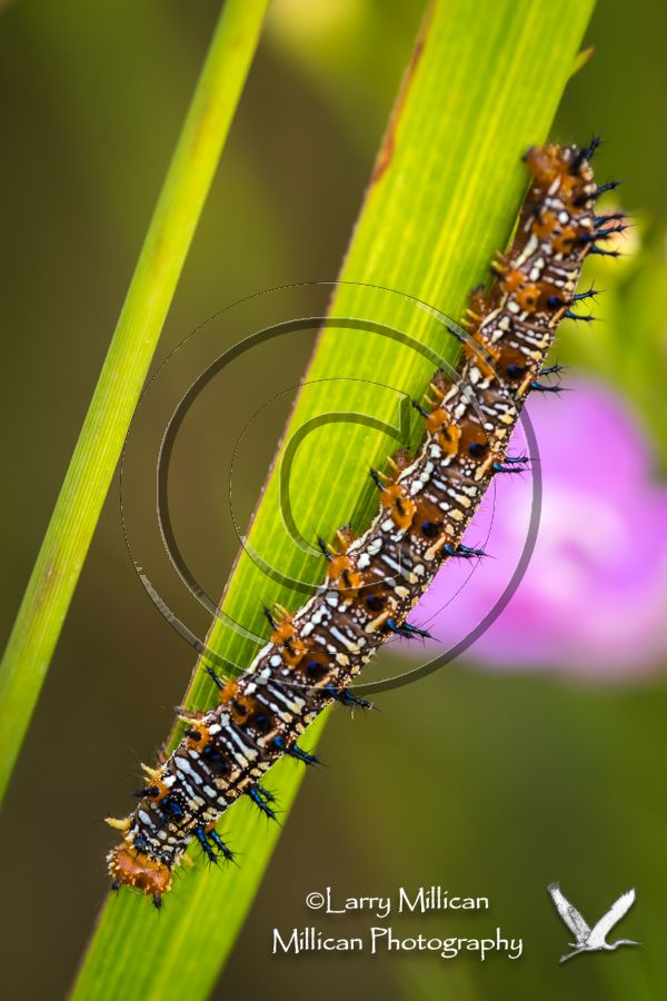 Pearl_Crescent_Caterpillar