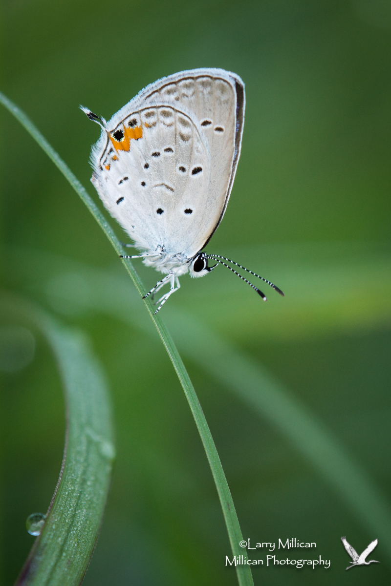 Eastern Tailed-Blue (Cupido [Everes] omyntas) at Cherokee Prairie, near Charleston, Arkansas