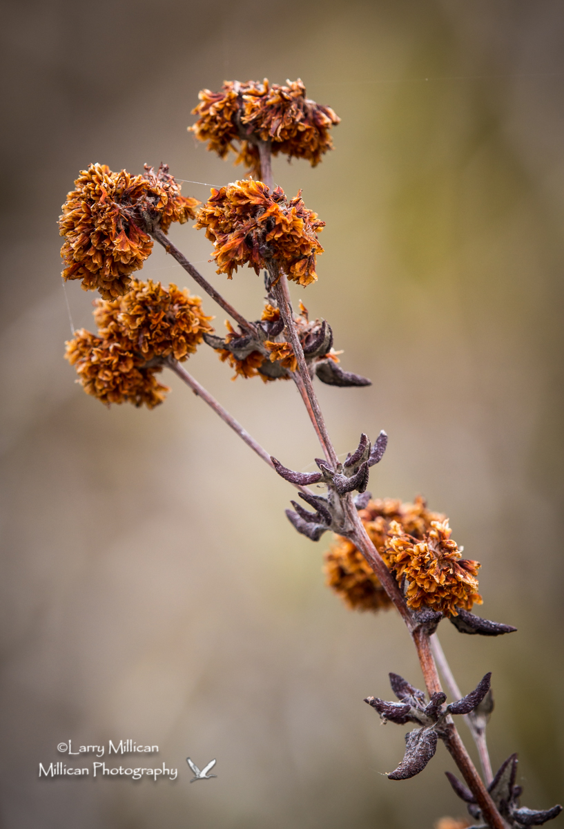 Small shrub with dried flowers and seed pods.