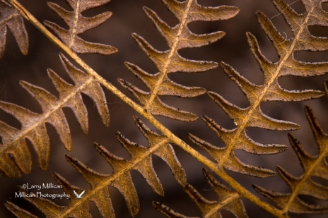 Bracken Fern closeup