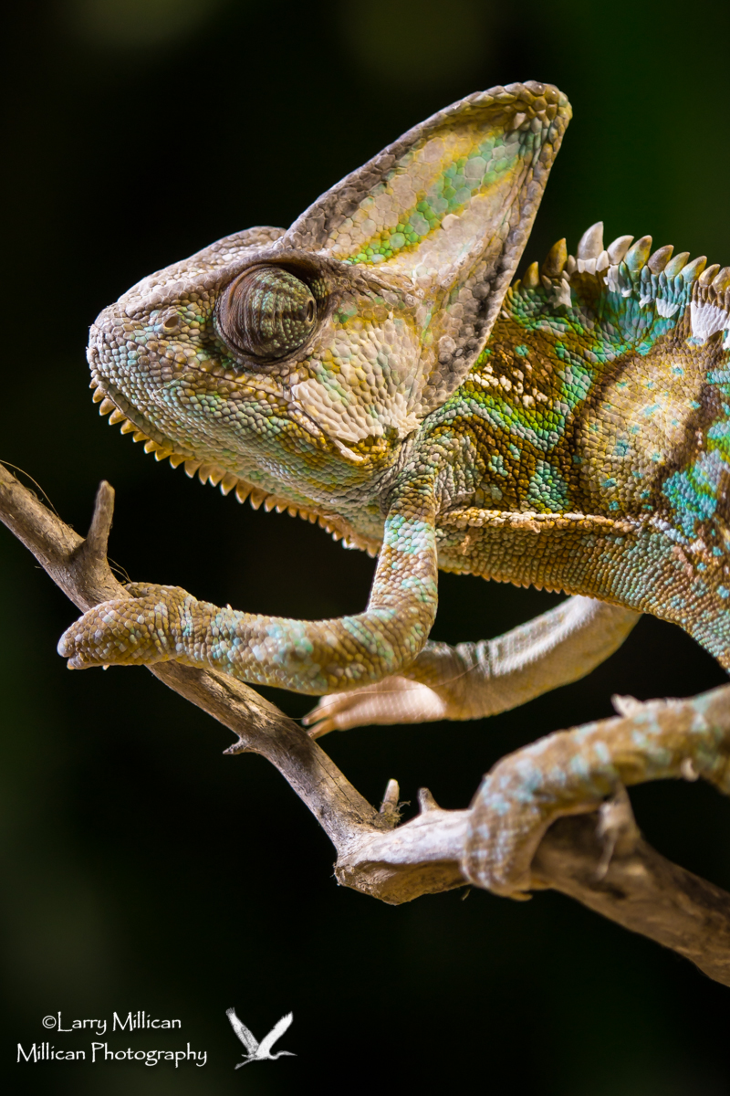 The Chameleon was perhaps the most photographed