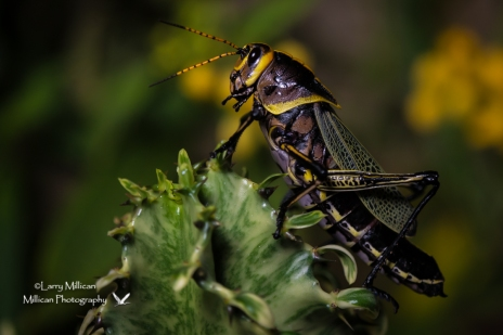 Colorful, exotic lubber grasshopper