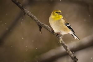 Goldfinch in falling snow
