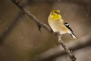 Goldfinch in falling snow
