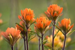 Paintbrush Family Cherokee Prairie near Charleston, Arkansas