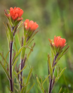 Paintbrush Trio Cherokee Prairie near Charleston, Arkansas