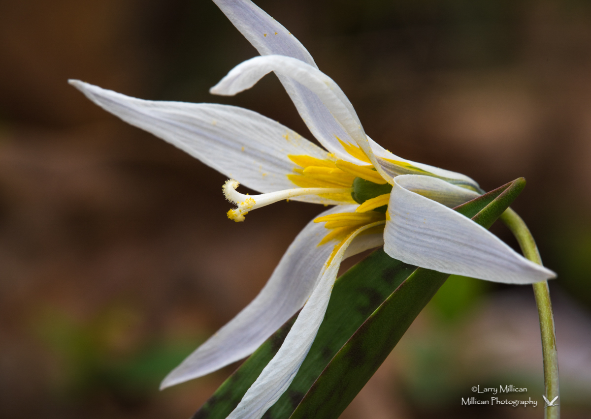 Trout Lily 1767