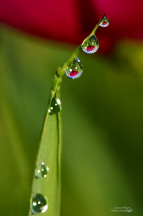 Dew Drops with Wild Rose