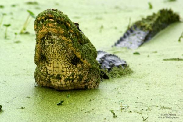 Displaying alligator