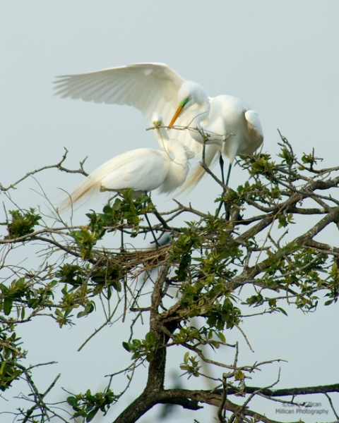Great Egret Pair Building the Nest