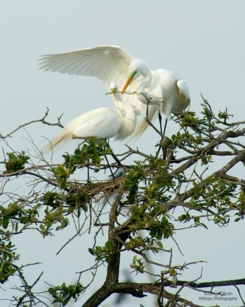 Great Egret Pair Building the Nest