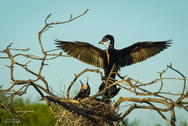 Cormorants at the Nest