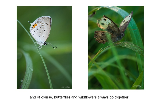 Vertical photos-butterflies-prairies