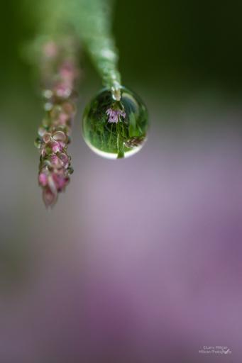 Dew Drops, Wild Onions