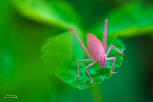 pink katydid-512-03588
